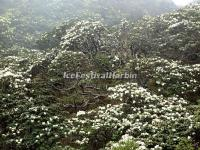 The White Azaleas in Dali Cangshan Mountain