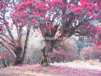 The Red Azaleas in Dali Cangshan Mountain