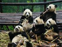 Panda Are Eating Bamboo Shoots