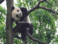 A Cute Panda in the Tree