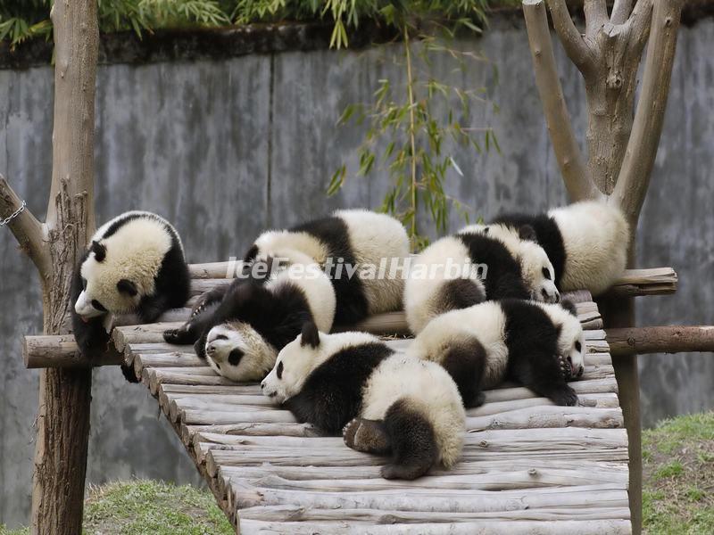 Chengdu Panda Base Chengdu Research Base Of Giant Panda