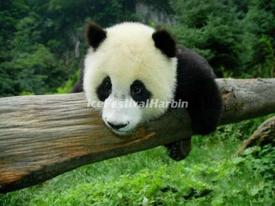 China Conservation and Research Center for the Giant Panda Dujiangyan Base