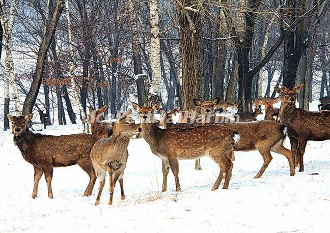 Deer in China's Snow Town