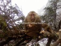 Monkey in Emei Mountain