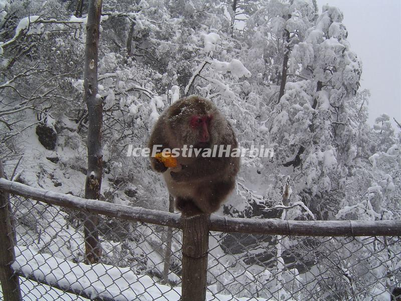 The Monkey on Mount Emei