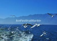 Erhai Lake Sea-gulls