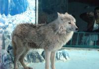A Polarwolf in Harbin Polarland
