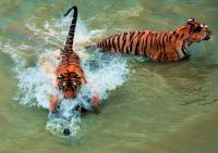 The Tigers Are Swimming in Harbin Siberian Tiger Park