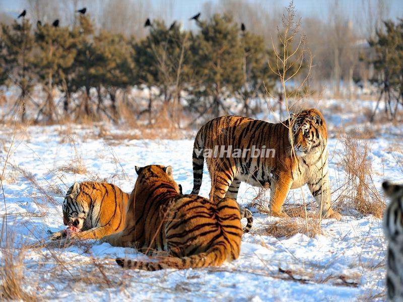 4-day Harbin Ice Festival & Chagan Lake Winter Fishing