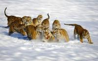 The Tigers in Siberian Tiger Park, Harbin, China