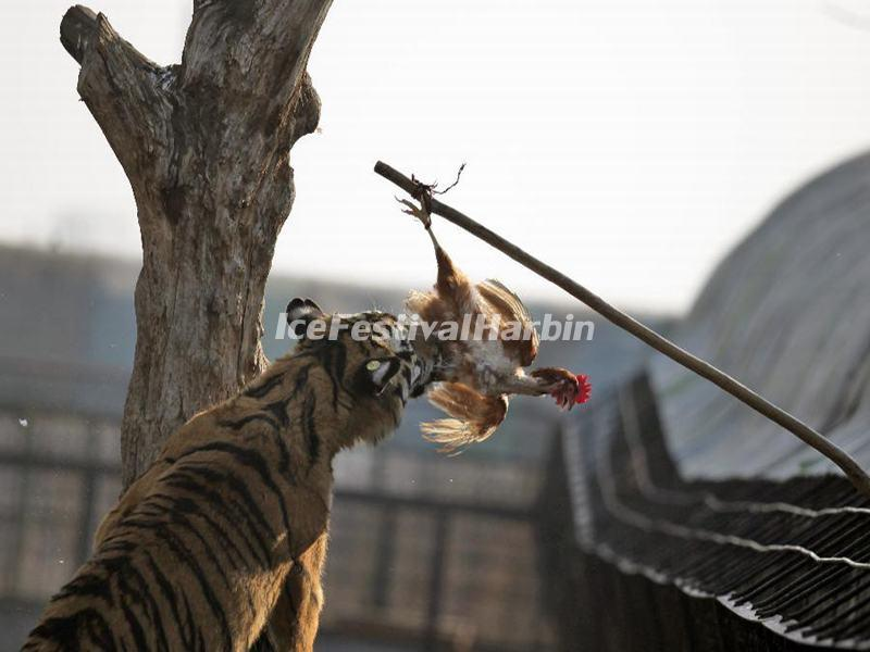 Harbin Siberian Tiger Park Chicken Feeding
