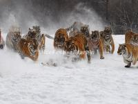 Harbin Siberian Tiger Park in Winter