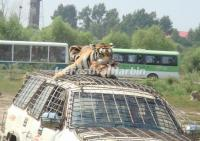 Safari-style Trip in Harbin Siberian Tiger Park