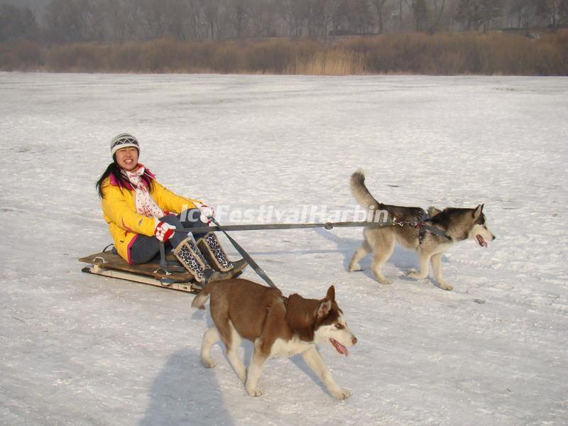 Dog Sledging in Chengdu Xiling Snow Mountain