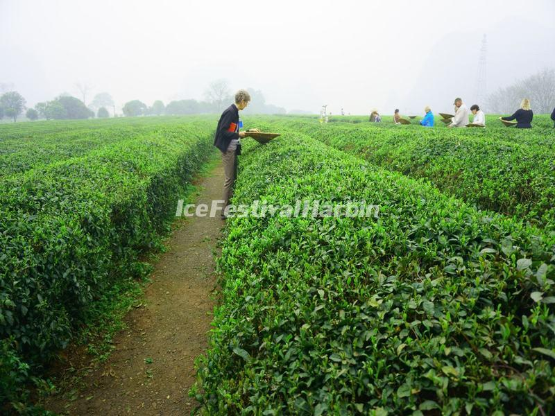 Yao Mountain Tea Plantation