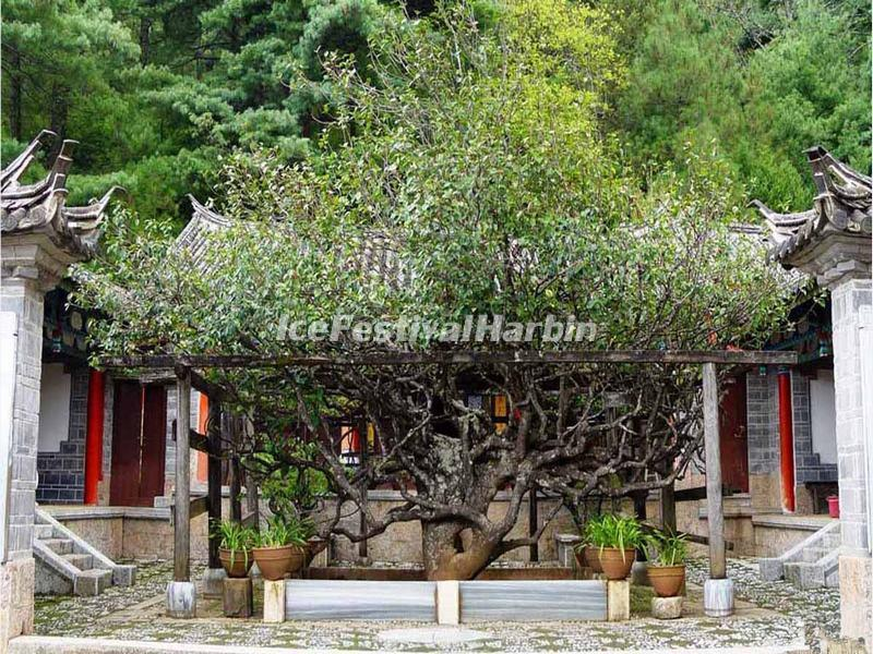 The Ancient Camellia Tree in Yufeng Lamasery