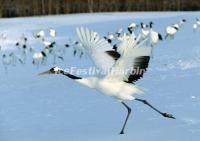 The Red-crowned Cranes in Zhalong Nature Reserve